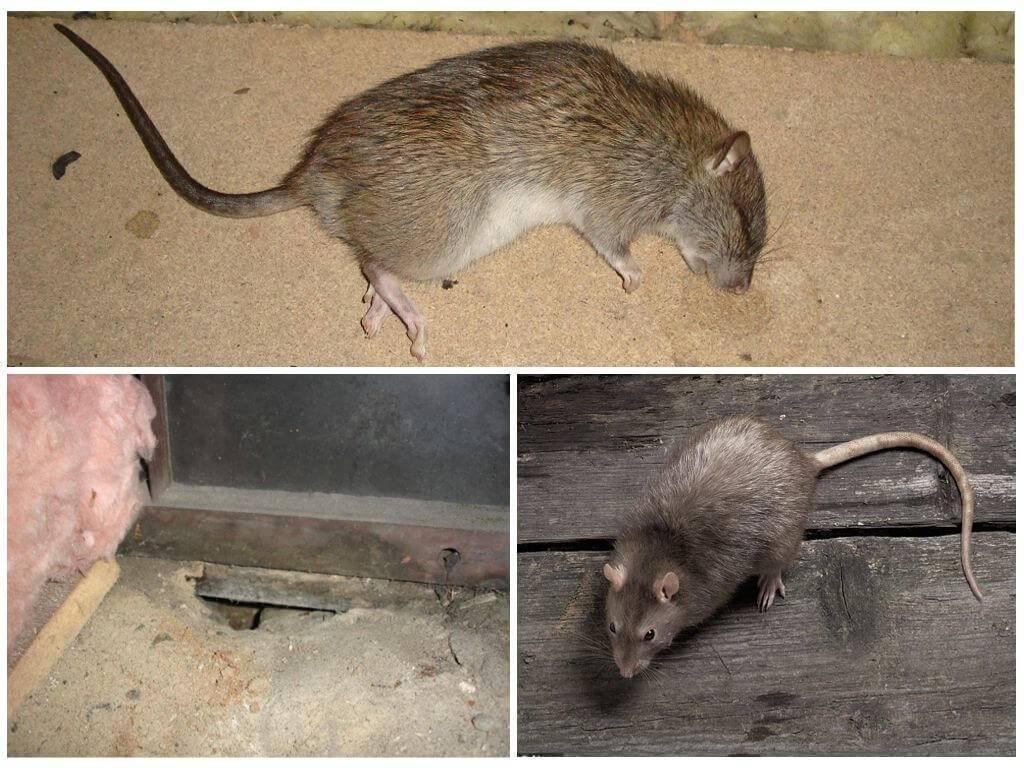Как избавиться от запаха дохлой крысы?