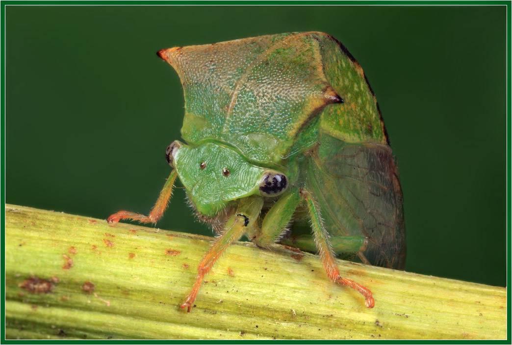 Буйволовидная цикадка-опасный гость.   виноградная лоза