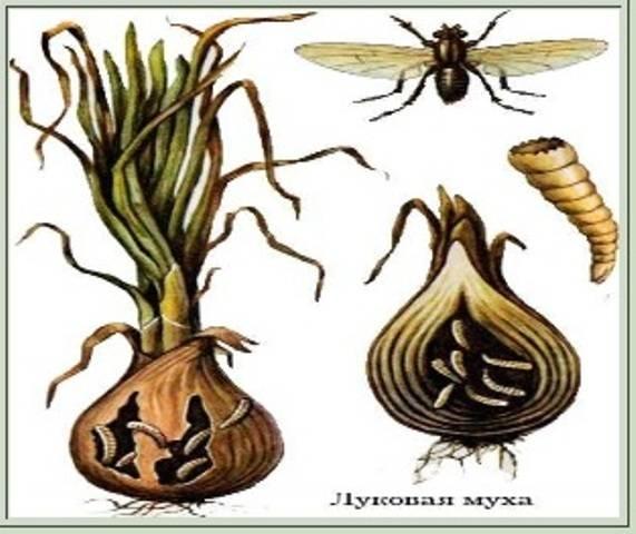 Как избавиться от луковой мухи: народные средства и химикаты