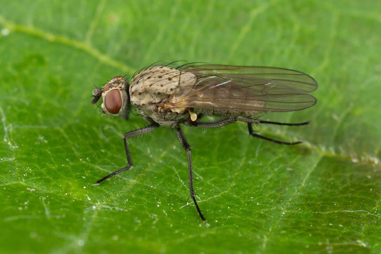 Как бороться с луковой мухой на грядке? 100% безопасные и эффективные способы, как избавиться от нее