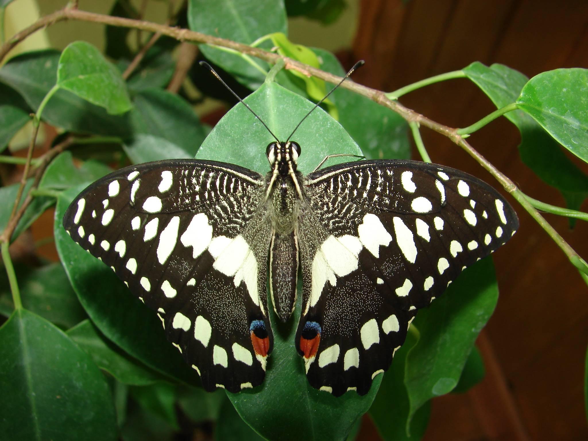 Парнассиусы (parnassius). аполлон, автократор, авинов, давыдов, фельдер, феб, эверсман. виды бабочек. красная книга.