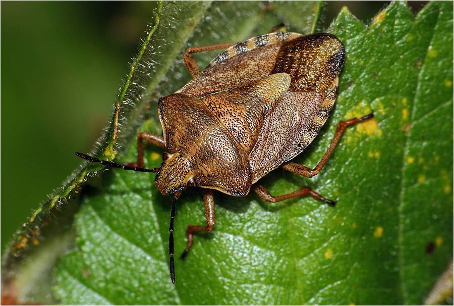 Лесной клоп, клоп вонючка, древесный, триатомовый и многие другие уличные представители этих насекомых русский фермер