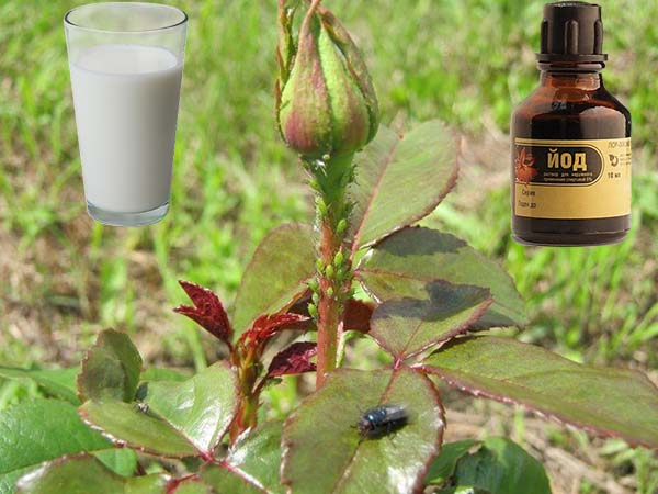 Молоко с йодом от тли на растениях