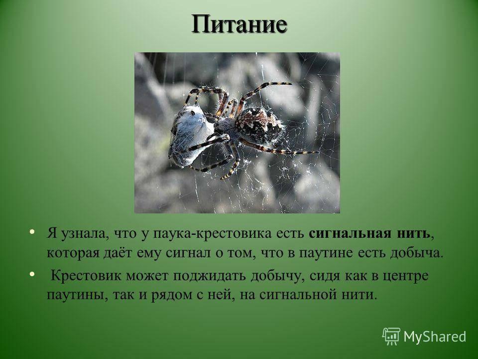 Паук-крестовик: фото, особенности строения, образ жизни, среда обитания, опасен ли для человека