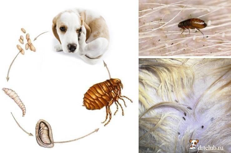 Эффективные народные средства для выведения блох у собак