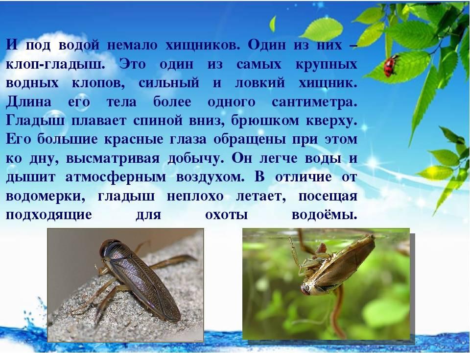 Вся правда о водяных клопах: как выглядят и опасны ли для человека