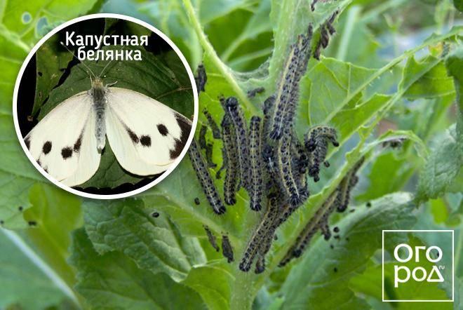 Бабочка капустница: как избавиться в огороде, как выглядит, фото примеры