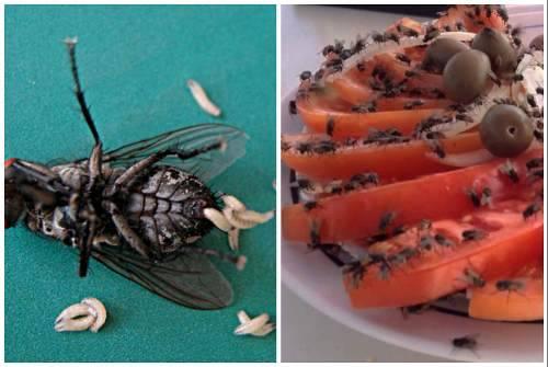 Как избавиться от мух в доме и на улице: лучшие способы борьбы с м ...   golbis