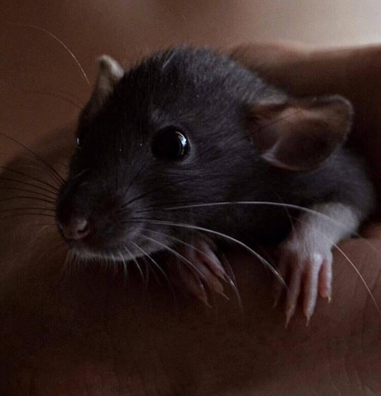 Черная крыса: интересные факты о жизни этого грызуна