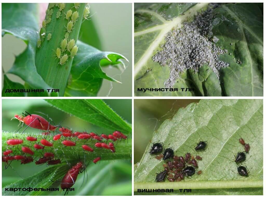 18 видов тли: гороховая, вишневая, капустная и другие. эффективные методы борьбы с вредителем