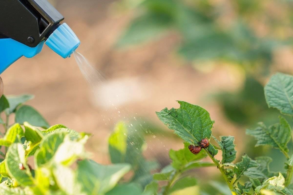 Как избавиться от колорадского жука без химии
