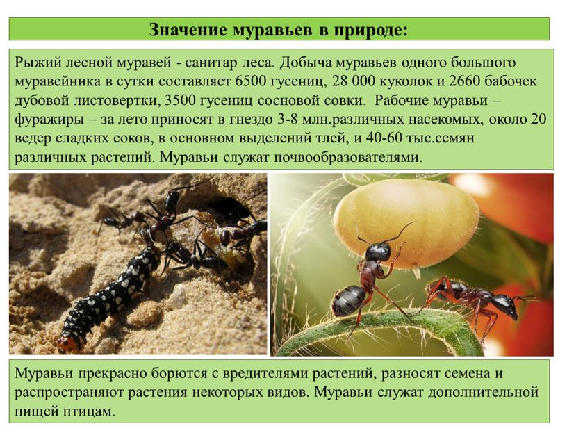 Рыжий лесной муравей: описание, образ жизни, польза и вред