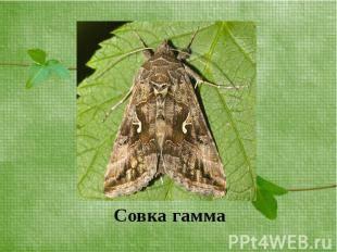 Вредители сельскохозяйственных культур. совка-гамма: многоядные насекомые-паразиты совка гамма гусеница