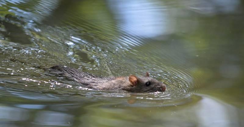 Можно ли купать крыс — как и когда мыть декоративных крыс в домашних условиях