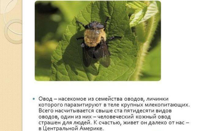 Слепень: как выглядит насекомое, чем питается, как размножается, чем опасен, фото