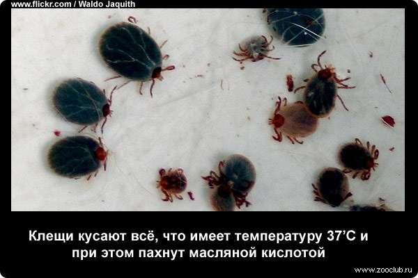 Интересные факты о клещах • всезнаешь.ру