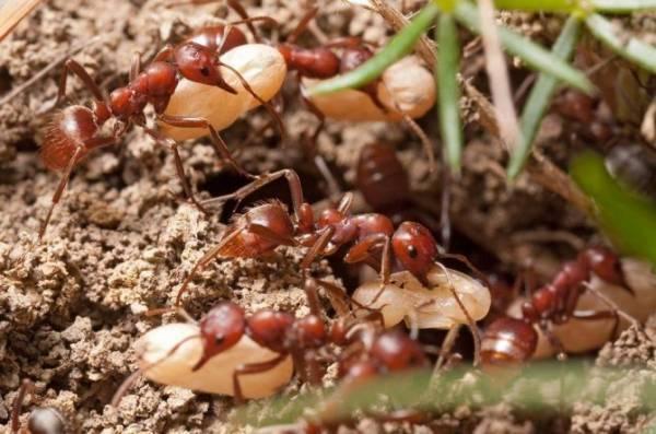 Муравей – защитник леса, сада и здоровья человека