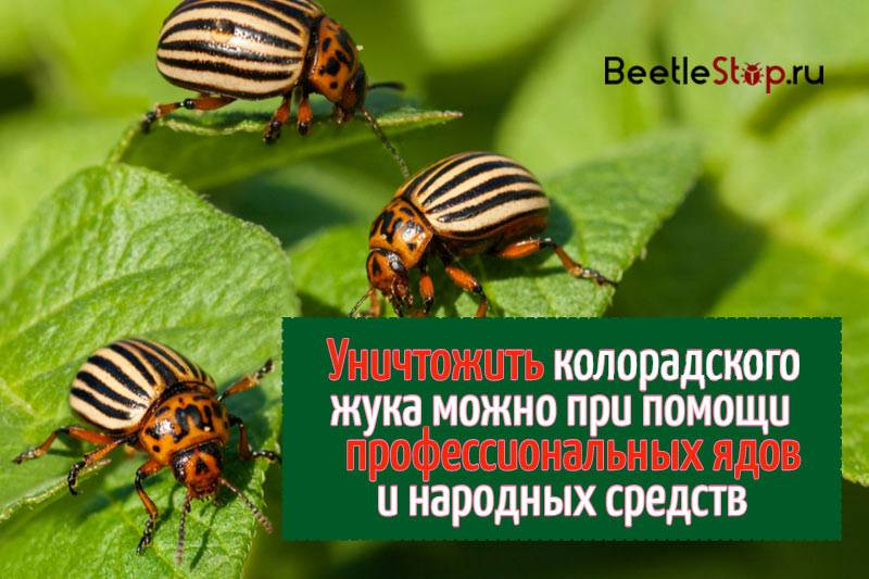 Топ-5 лучших средств от колорадского жука | +отзывы