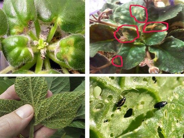 Как бороться с цикламеновым клещом на комнатных растениях?