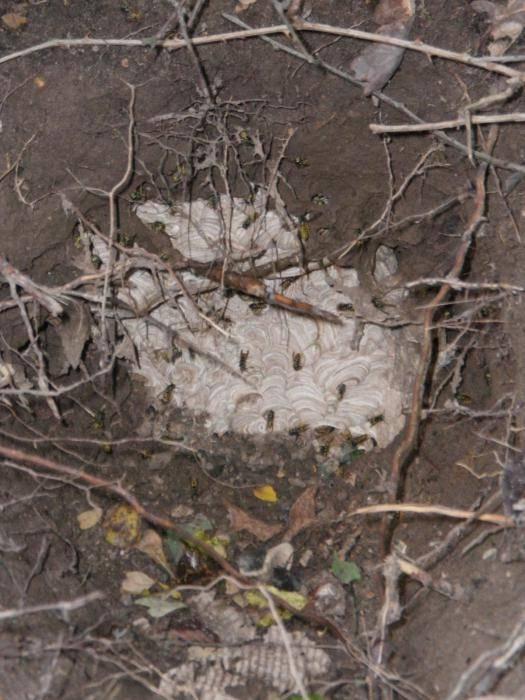 Как избавиться от гнезда земляных ос на участке, действенные методы борьбы