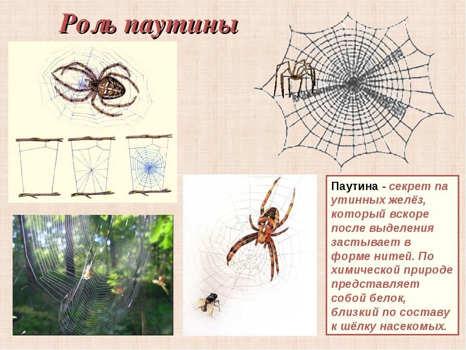 Как паук плетет паутину – секреты нити, которая прочнее стали