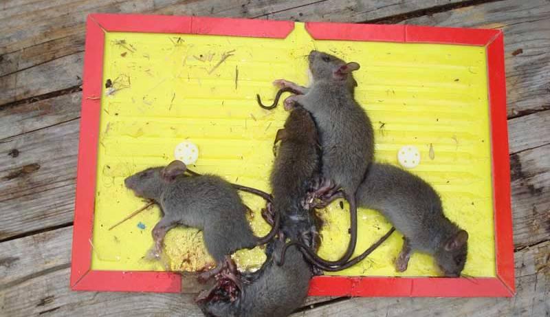 Как избавиться от мышей и крыс в частном доме народными средствами