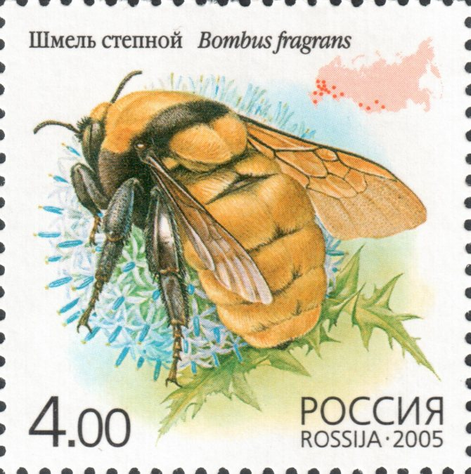 Моховой шмель: фото, описание и образ жизни близкого родственника медоносной пчелы