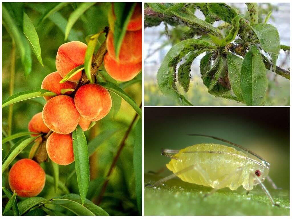 Чем и как обработать персик весной от болезней и вредителей: схема обработки и препараты