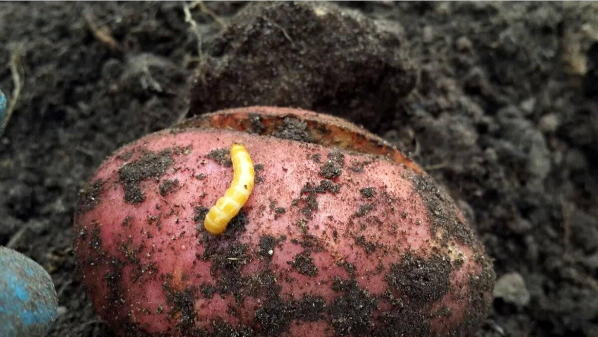 Как бороться с нематодой картофеля в почве: методы и средства борьбы