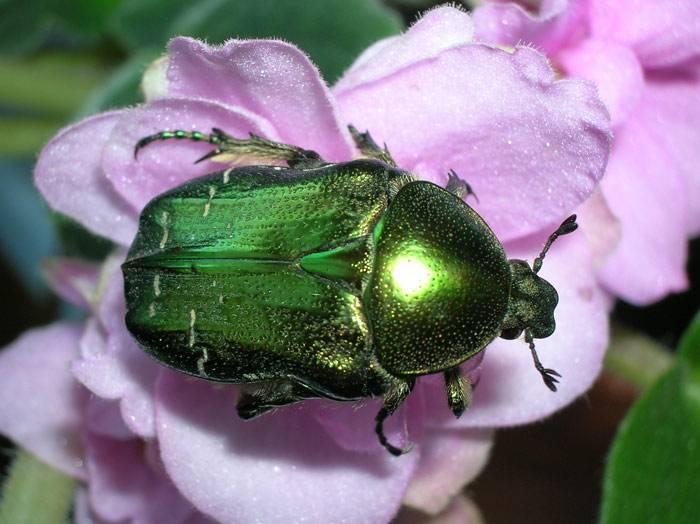 Protaetia (liocola) marmorata: питание и размножение насекомого