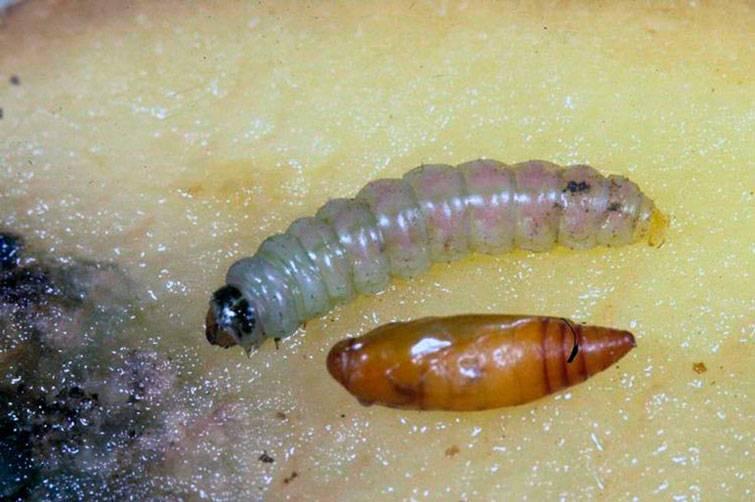 Личинки домашней моли: виды и методы борьбы с вредителем