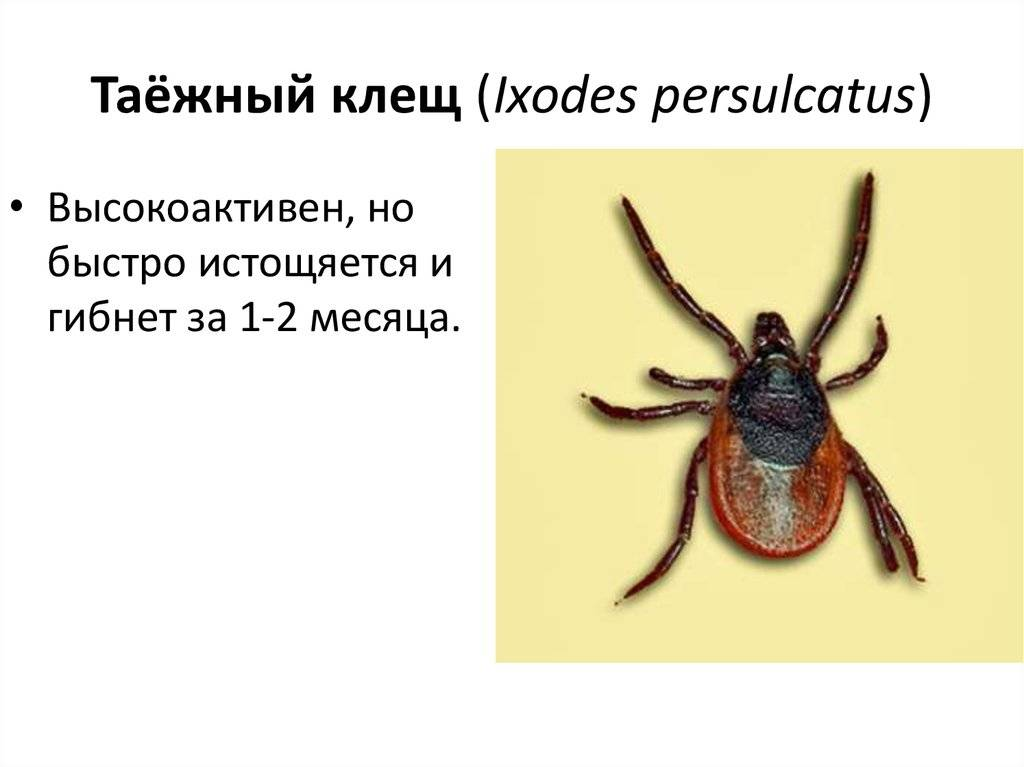 Особенности таежного клеща: внешний вид, ареал обитания и как обнаружить вредителя на теле