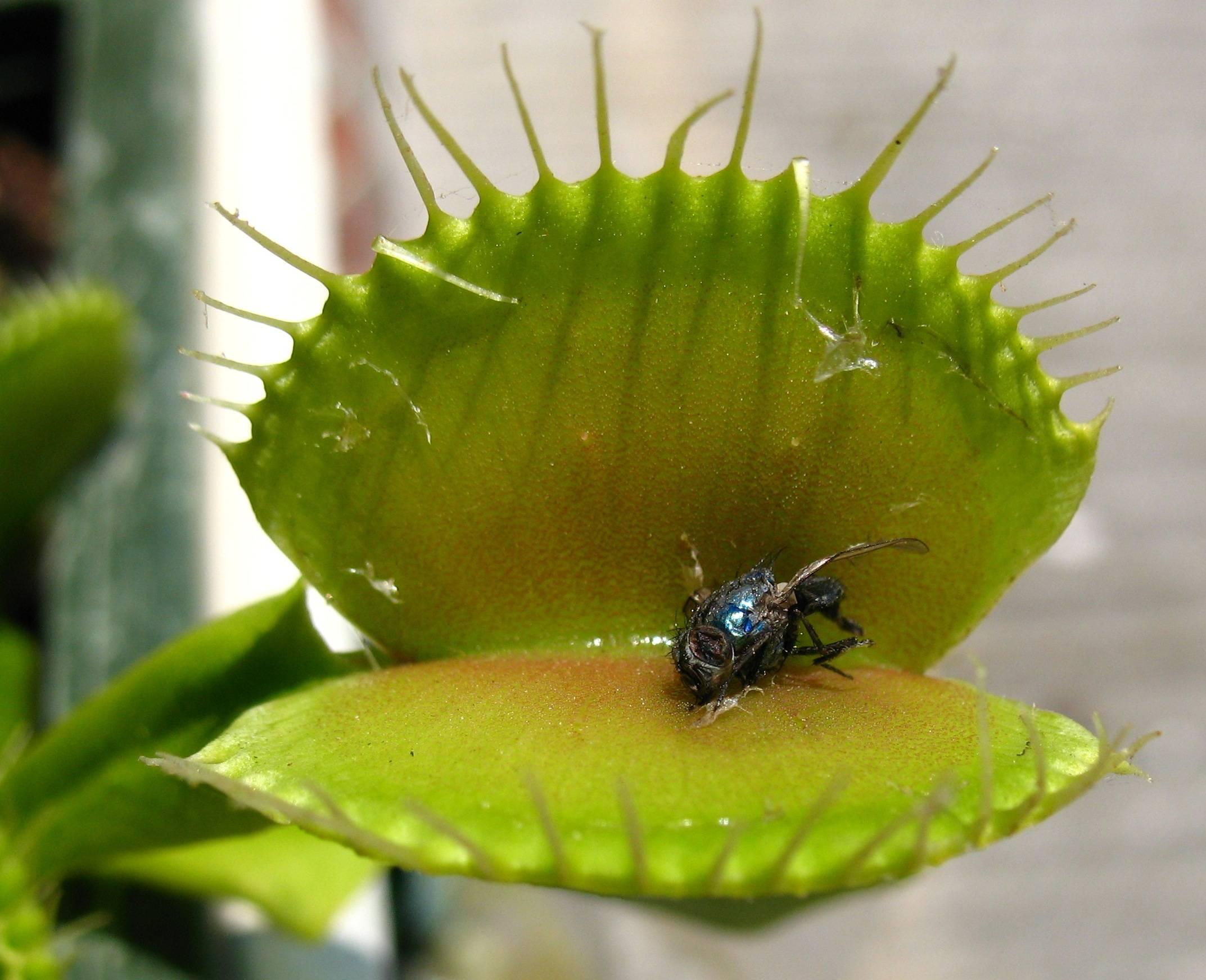 Цветок, который ест мух: название, фото и описание