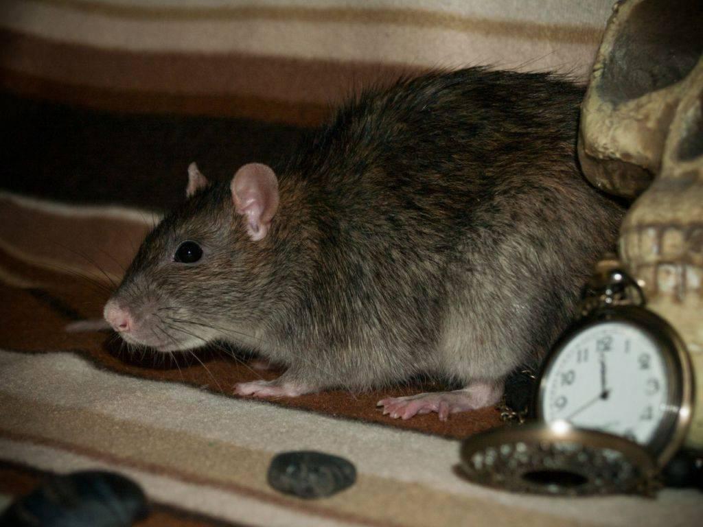 Крысы – фото, описание, ареал, рацион, враги, популяция