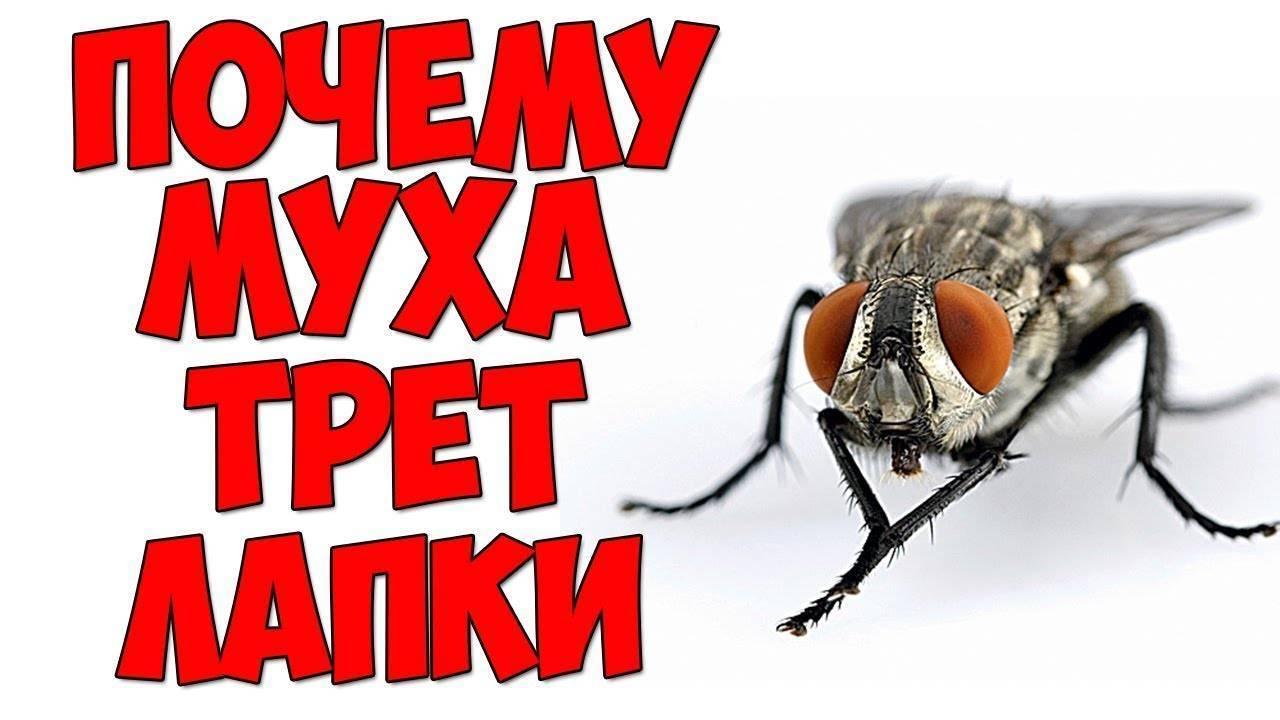Как бороться смухами вквартире, изачем насекомое «потирает лапки»