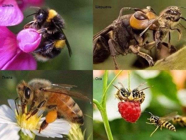 Чем отличается оса от пчелы