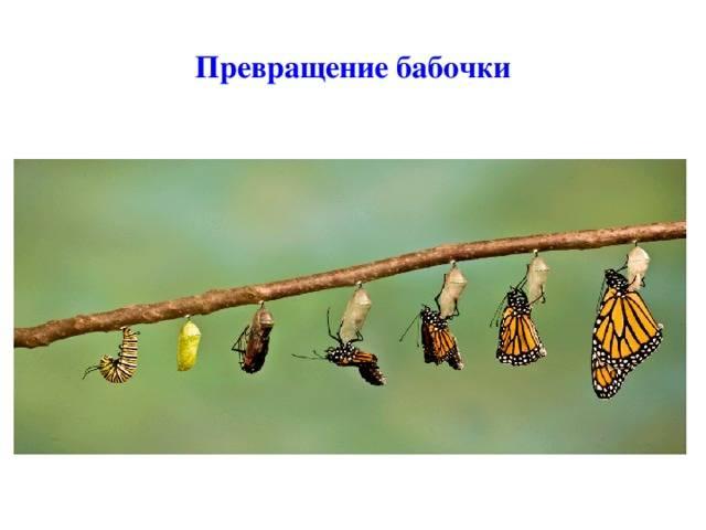 Превращение из гусеницы в бабочку
