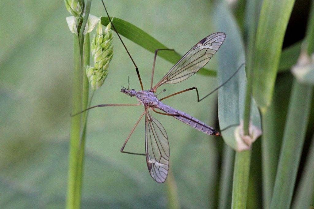 Комар — кровососущее насекомое: описание, жизненный цикл, ареал распространения, особенности строения