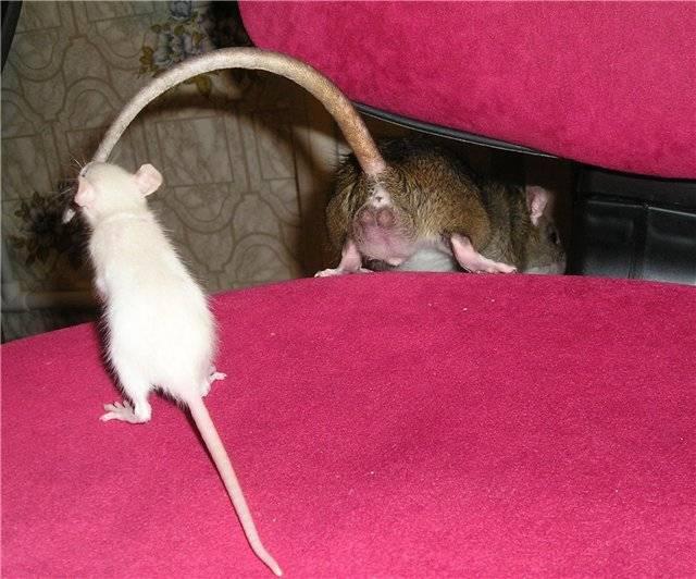 Хвост у крысы это позвоночник