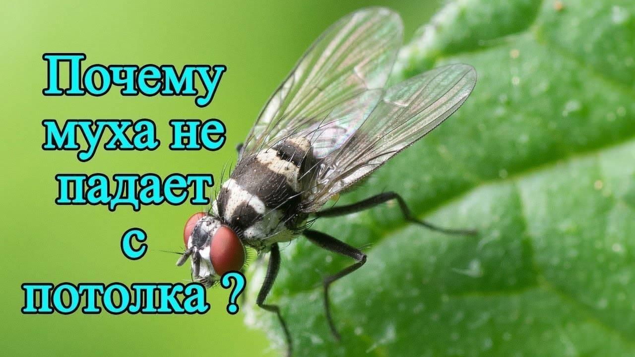 Почему муха не падает с потолка?