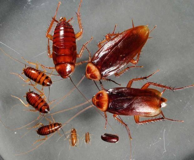 Чем опасны тараканы для человека, какие болезни они переносят?