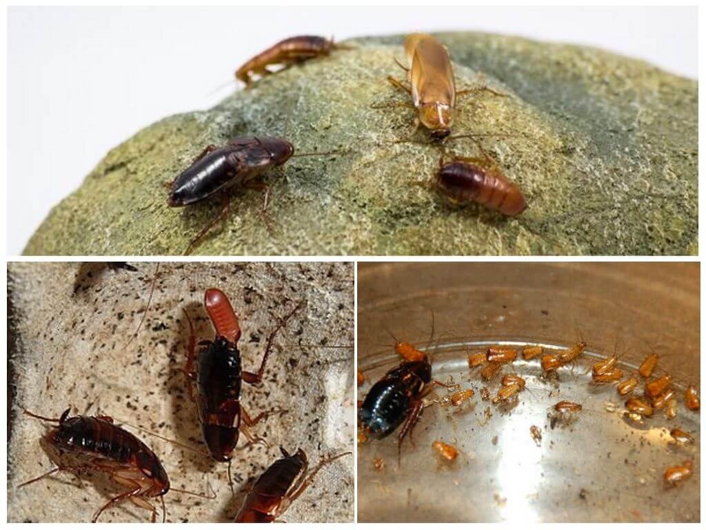 Как размножаются домашние тараканы?