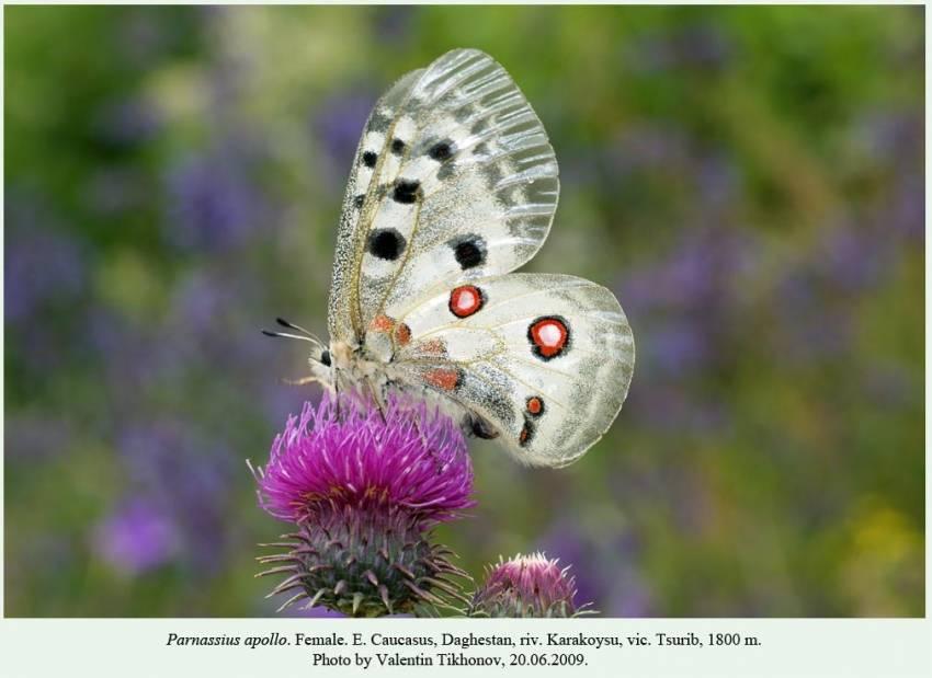 Луговой мотылек – фото бабочки, гусеницы, способы уничтожения