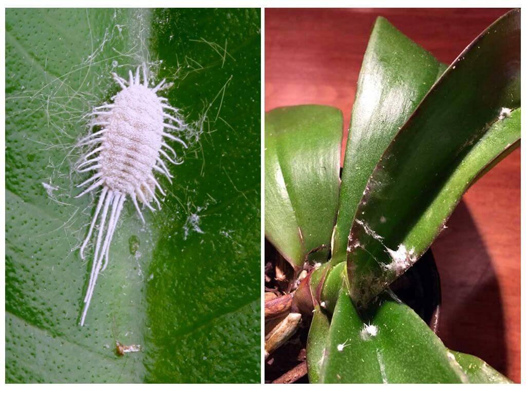 Мучнистый червец на комнатных растениях: как бороться, фото