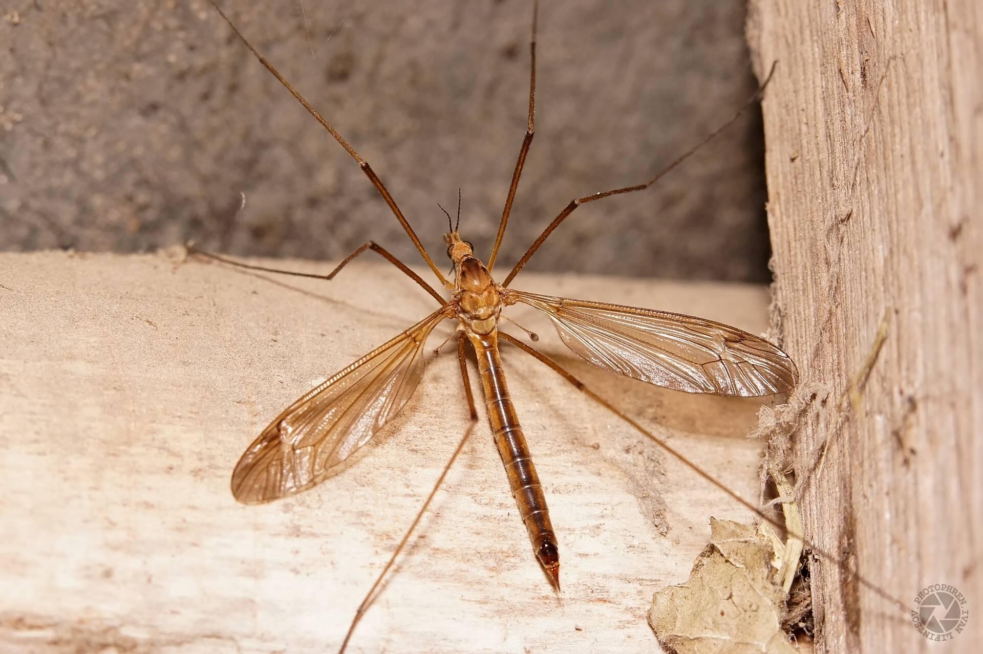 Большой комар с длинными ногами – как называется и опасен ли?. опасен ли большой комар с длинными ногами?