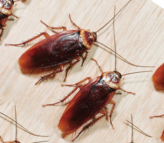 Черные и рыжие тараканы: как размножаются и сколько живут
