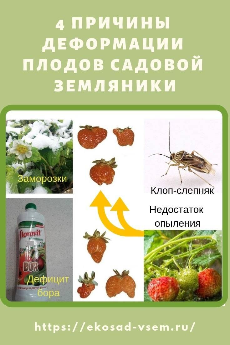 Клопы слепняк — какой вред наносят ягодам, как с ними бороться