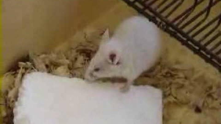 Могут ли мыши есть пенопласт.