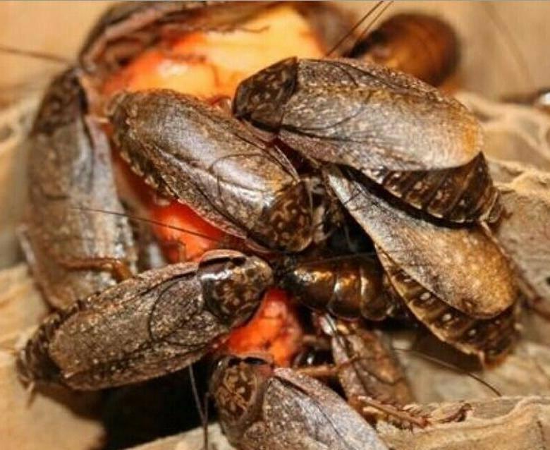 Разведение тараканов на корм в домашних условиях как бизнес