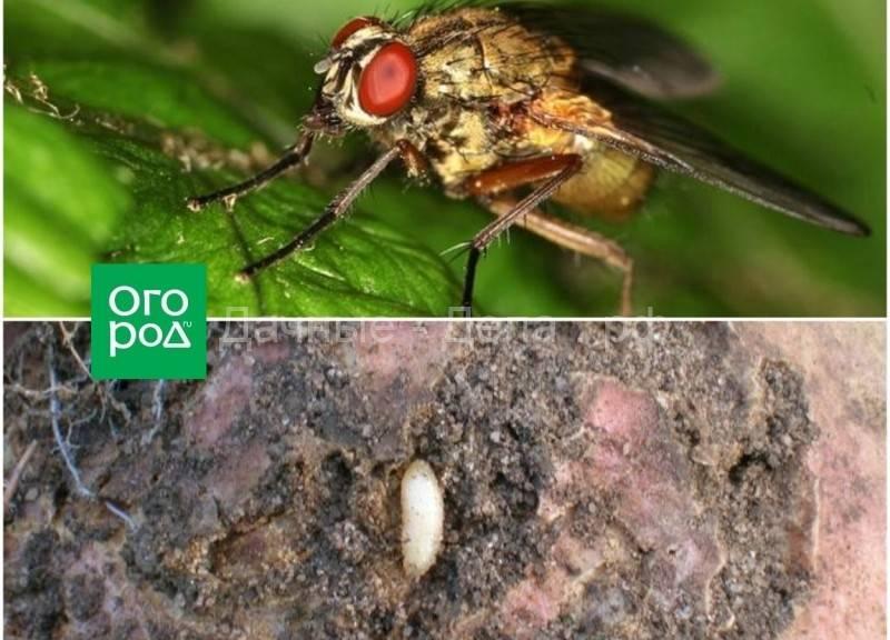 Летняя капустная муха de ia f ra is